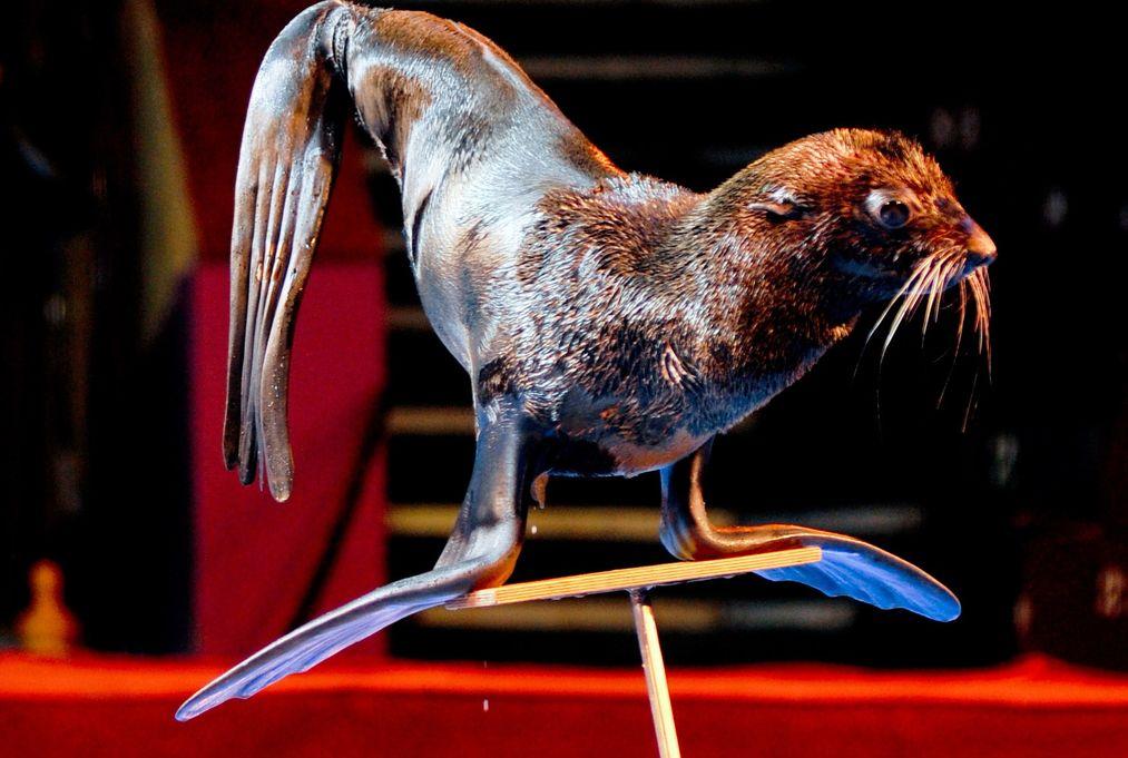 проспект медиа, цирк белиссимо, морские котики, шоу морских котиков